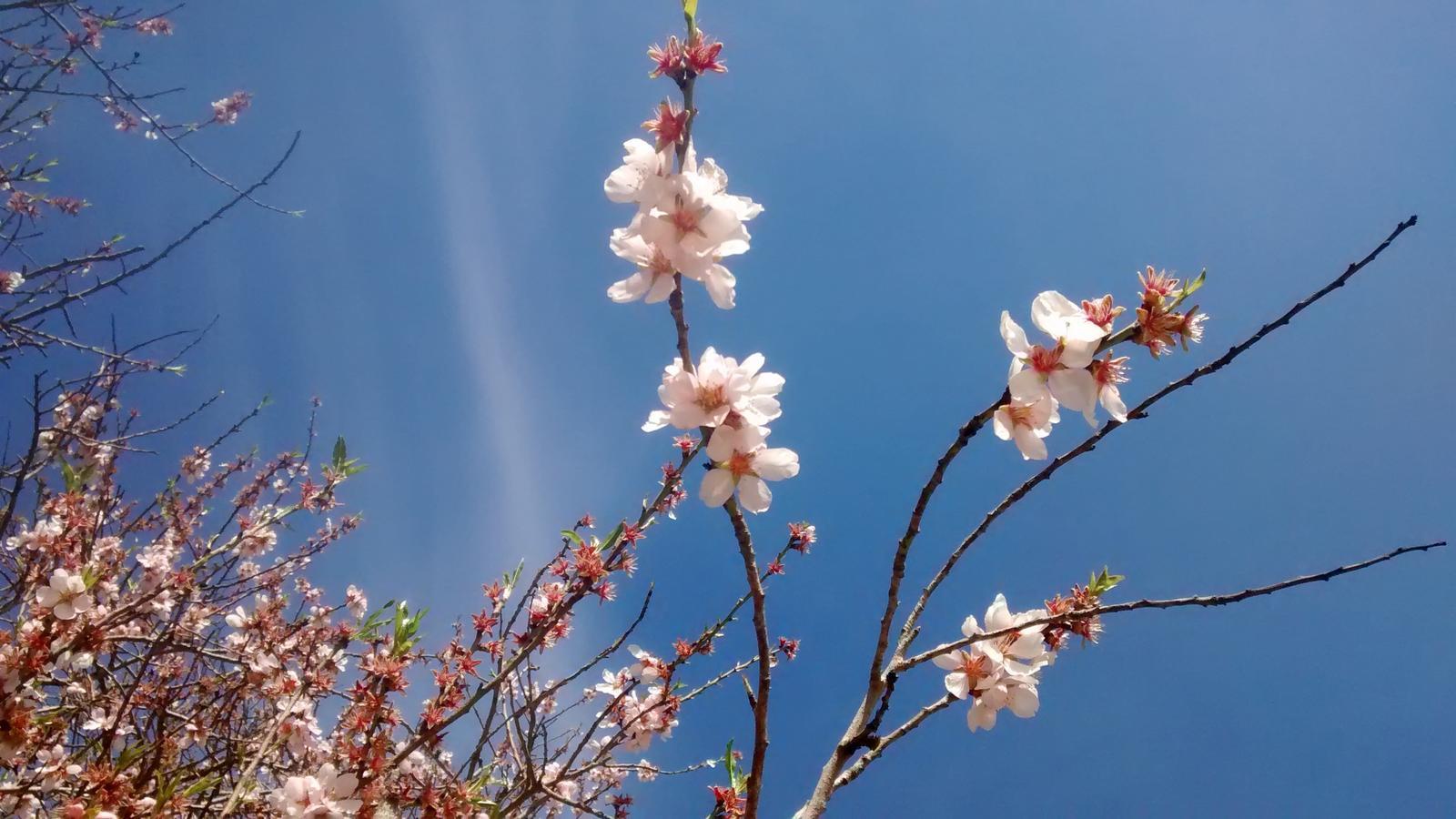 Els ametllers floreixen amb retard a les comarques de Ponent