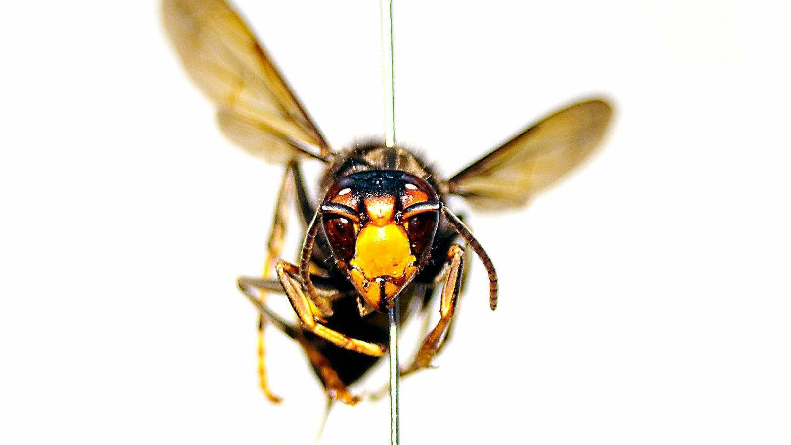 La vespa asiàtica és una espècia invasora molt perjudicial per a les abelles
