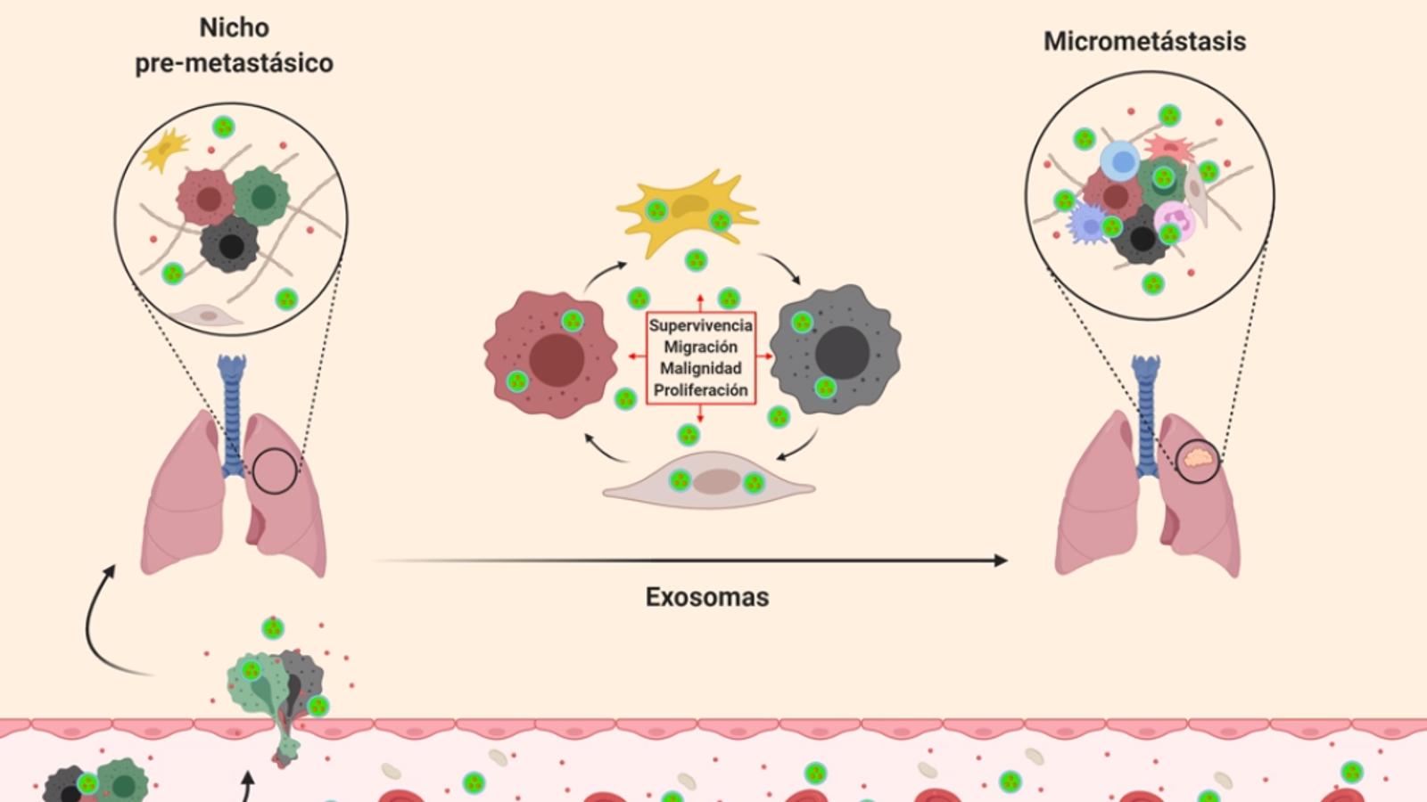 La comunicació entre cèl·lules és clau per aturar la metàstasi de càncer de mama.