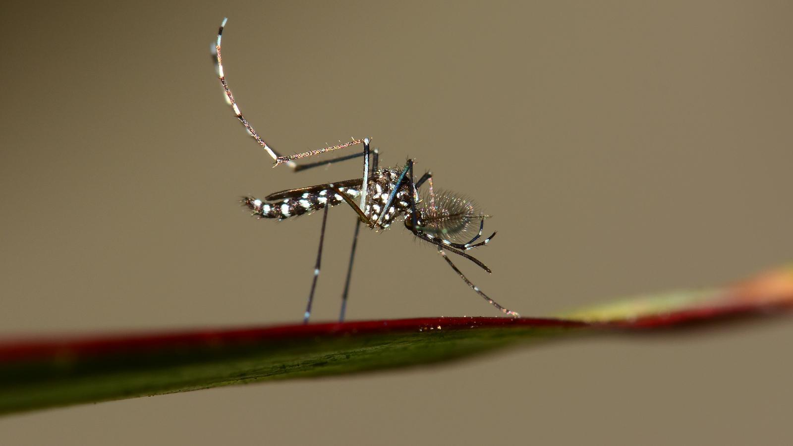 Un exemplar de mosquit tigre