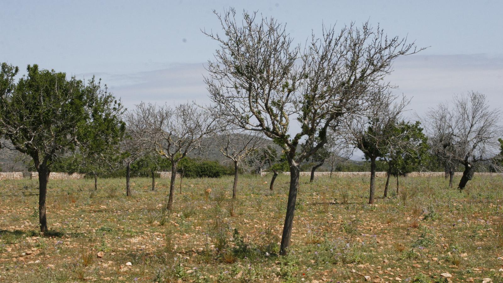 Un finca d'ametlers a Cales de Mallorca, plena d'arbres morts.