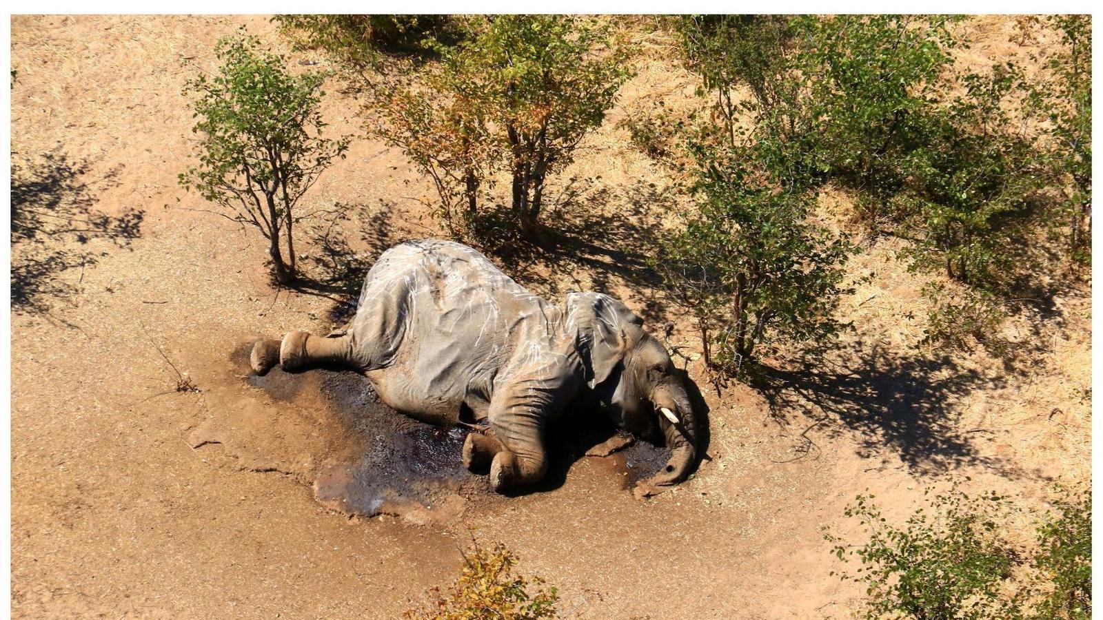 Dos dels elefants apareguts morts misteriosament a l'Okavango