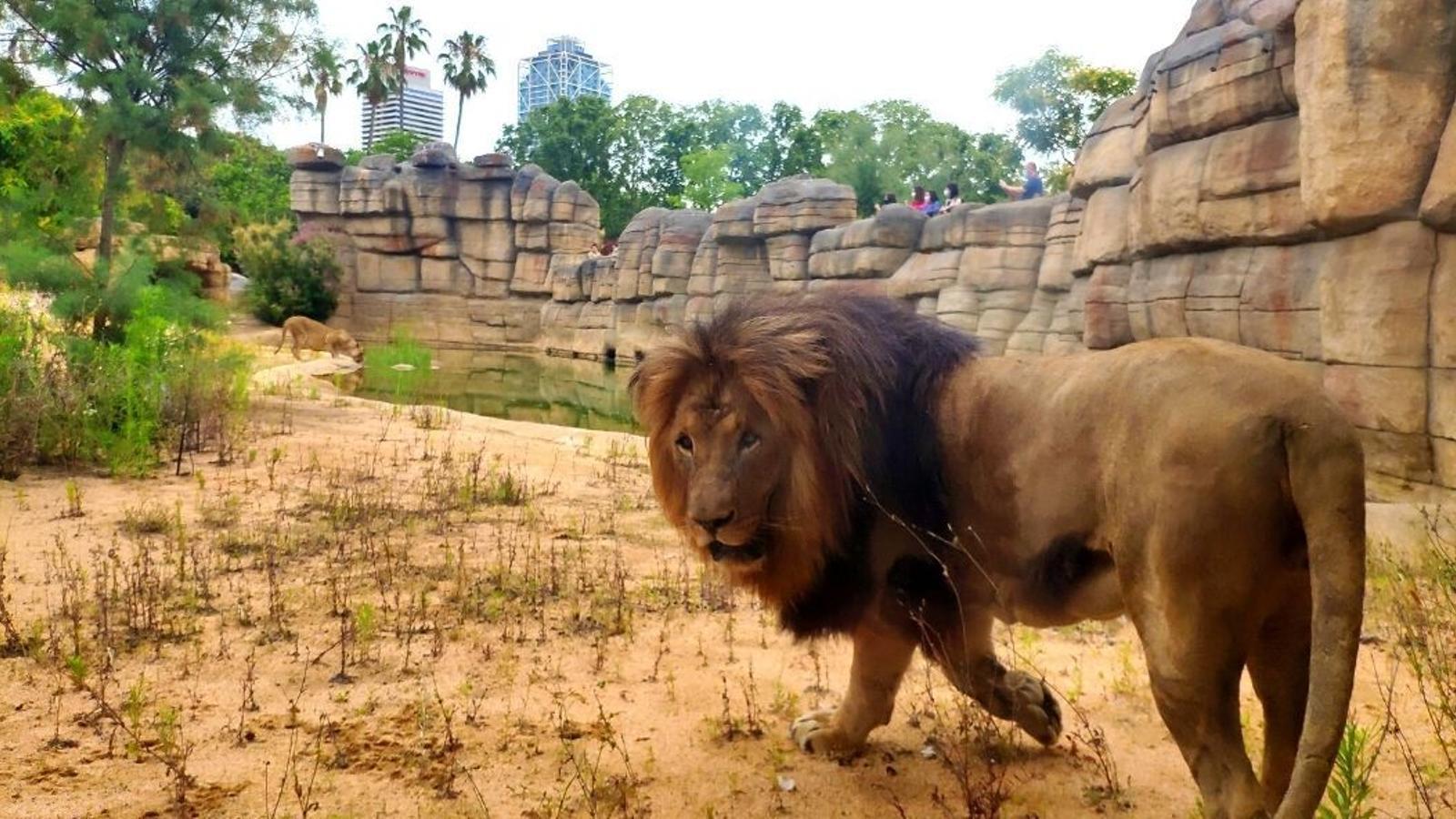Els quatre lleons del zoo de Barcelona han passat el covid. A la imatge, un lleó.