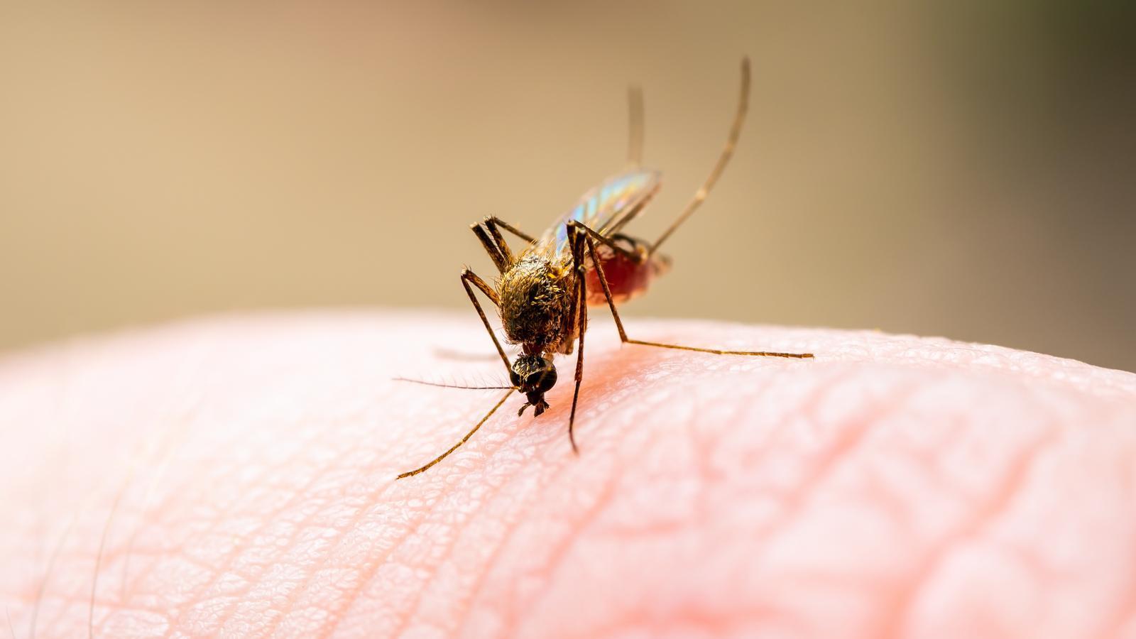 Mosquit Culex Pipiens (mosquit comú)