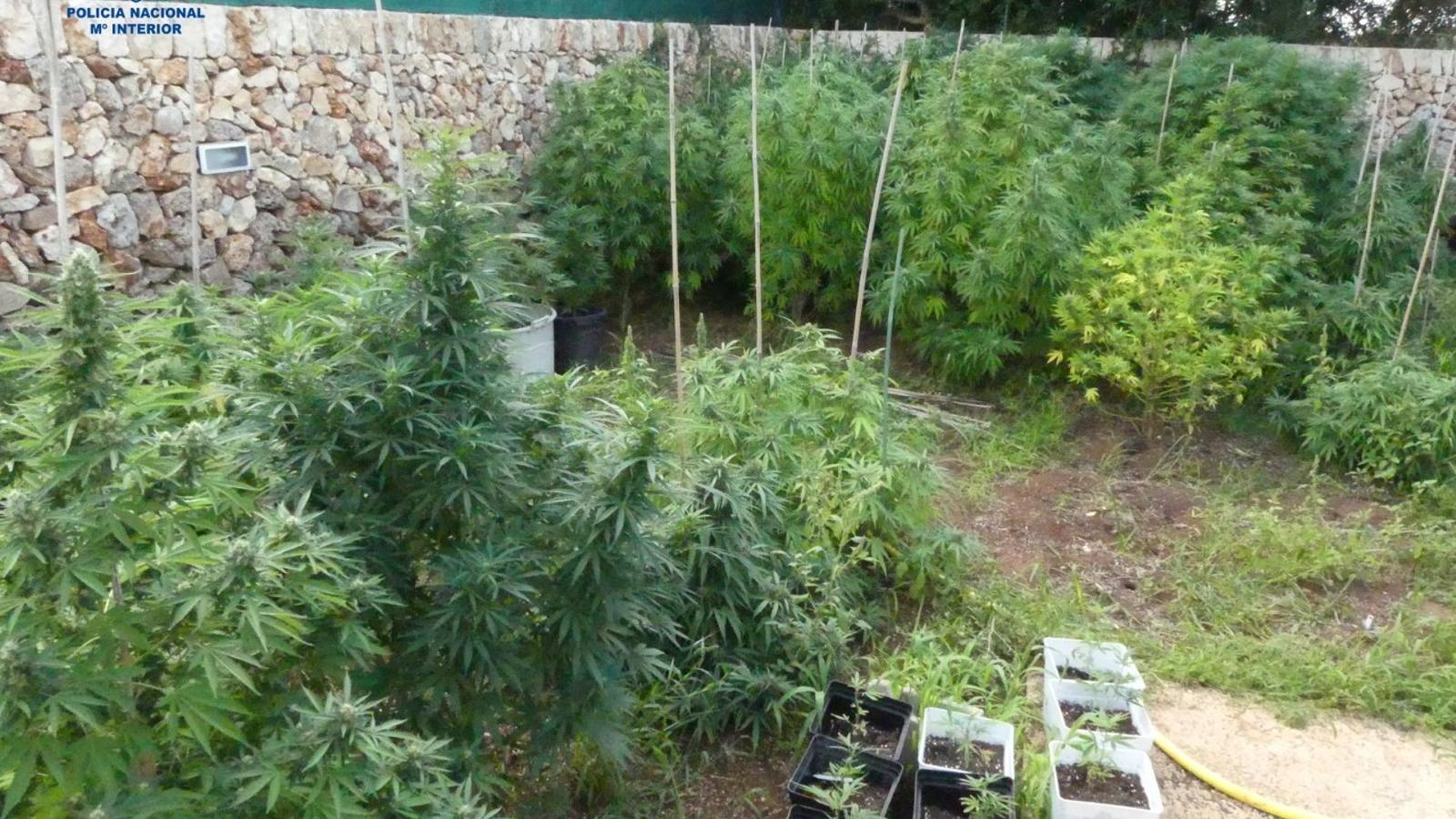 Les plantes de marihuana estaven distribuïdes entre una zona enjardinada i l'interior de la casa.
