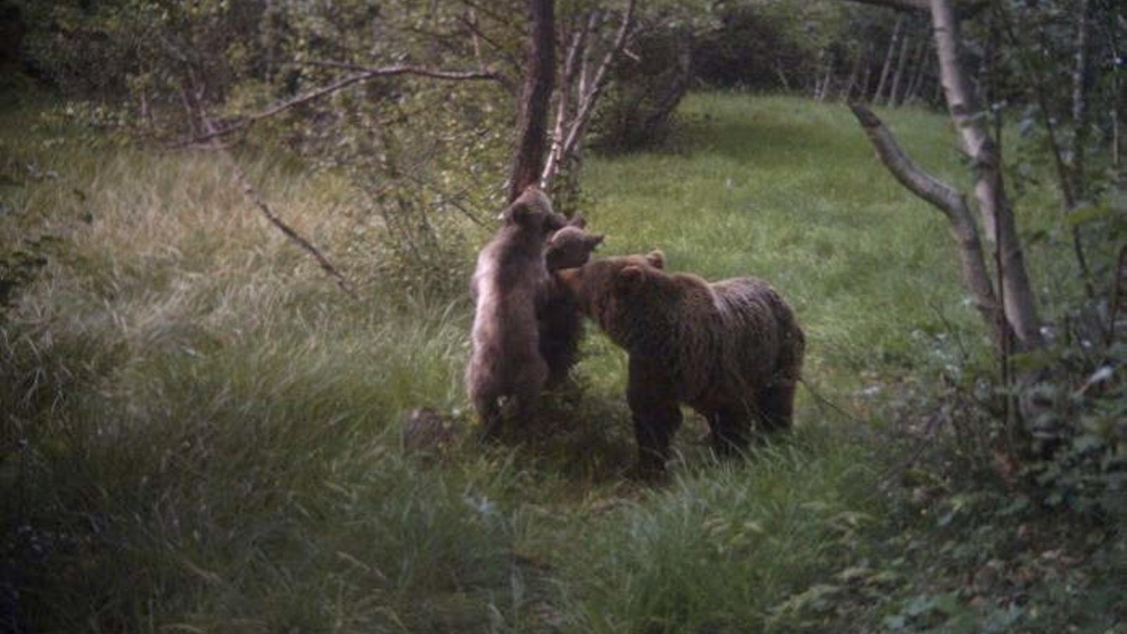 Les càmares camuflades captes imatges tan espectaculars com aquestes, del 2014, d'óssos al Pirineu