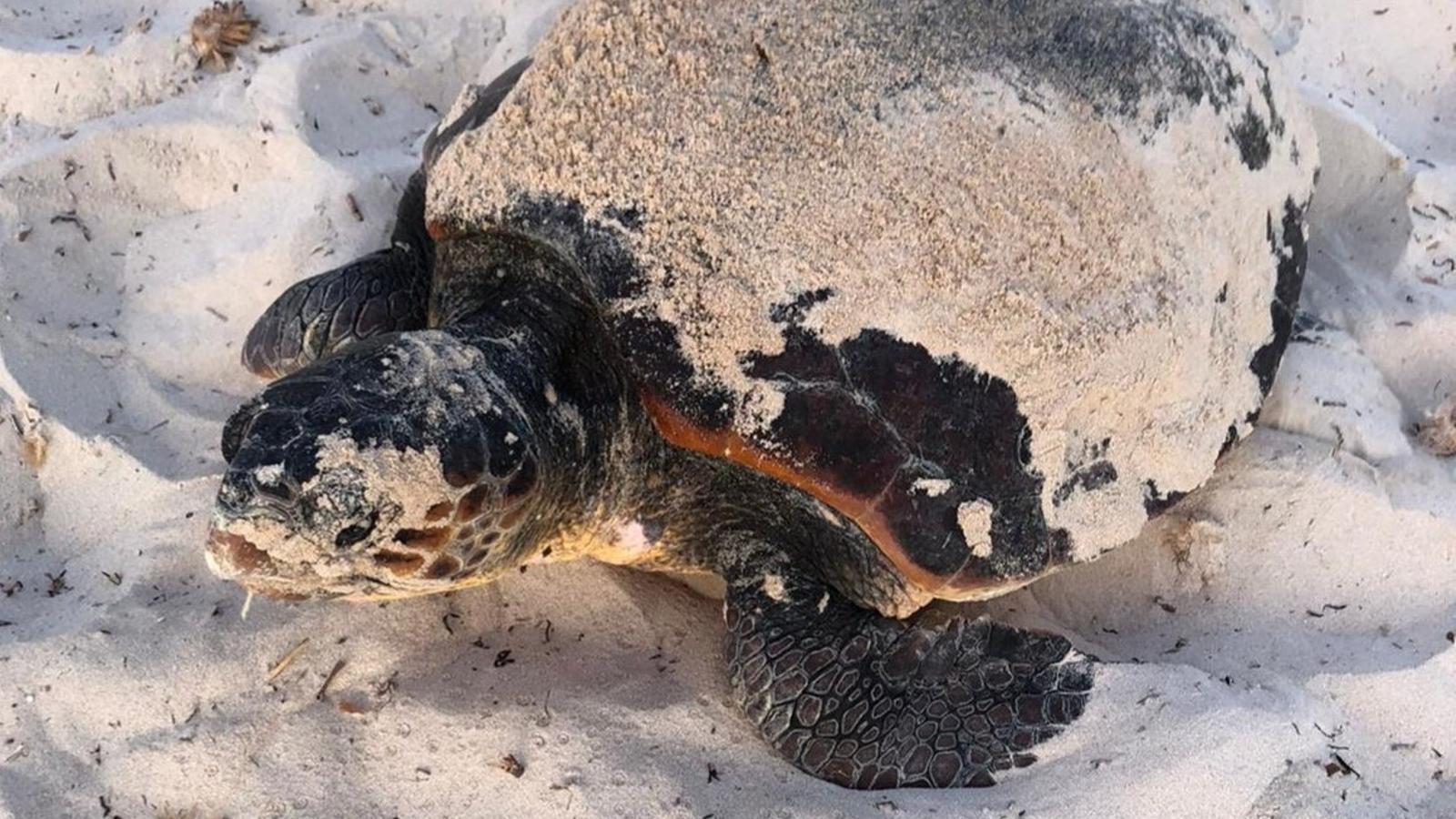 Imatge de la tortuga babaua que ha arribat aquest matí a Menorca.