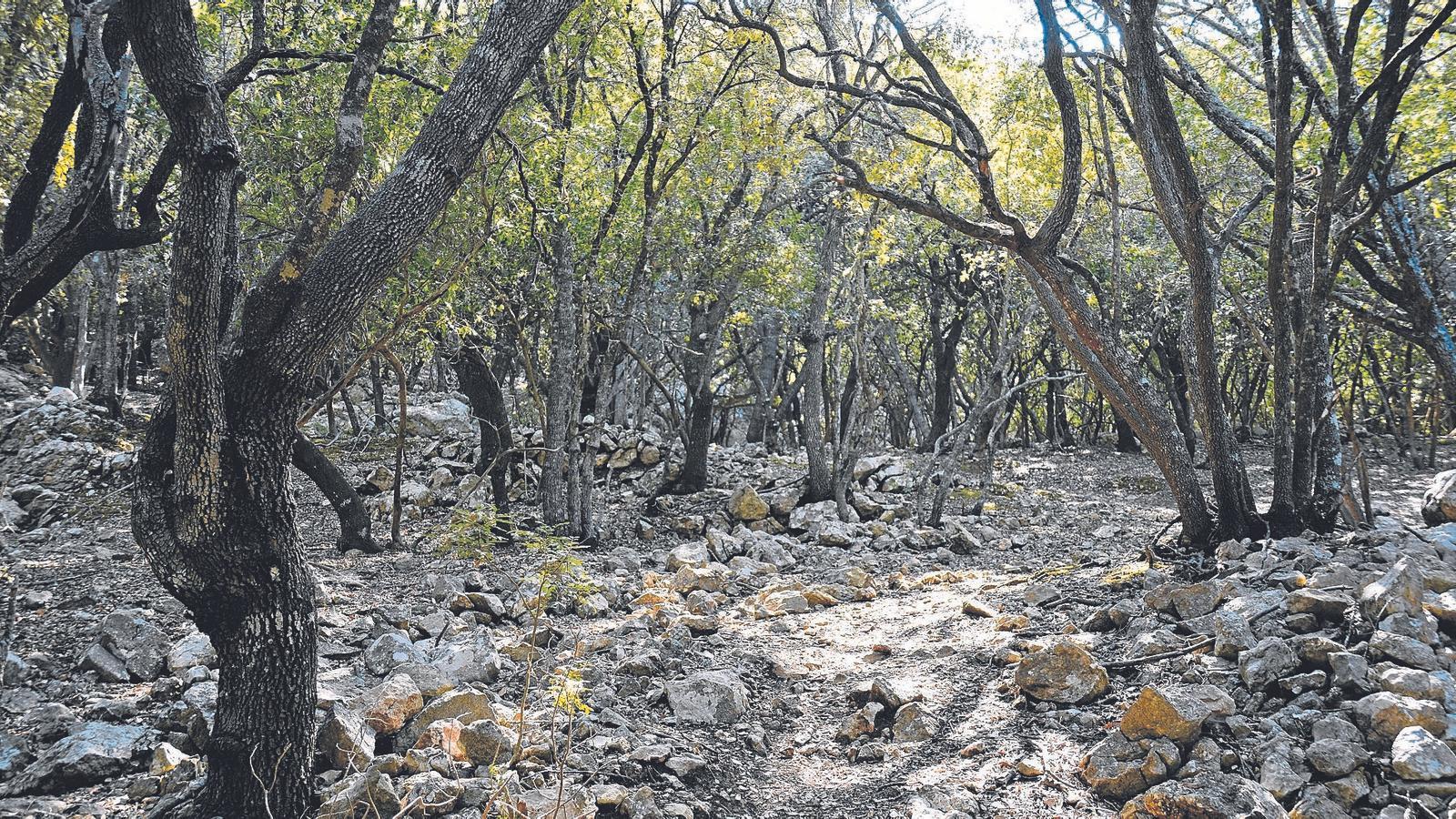Un bosc d'alzines a la Serra de Tramuntana