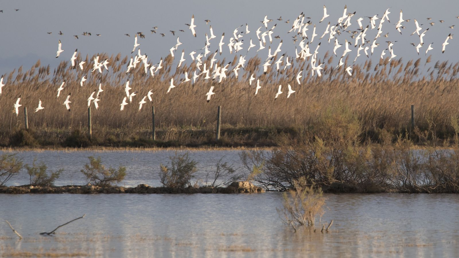 Un estol d'ocells a l'illa de Buda