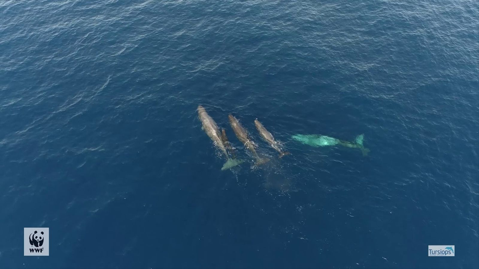 Tursiops i WWF  albiren catxalots a Menorca.