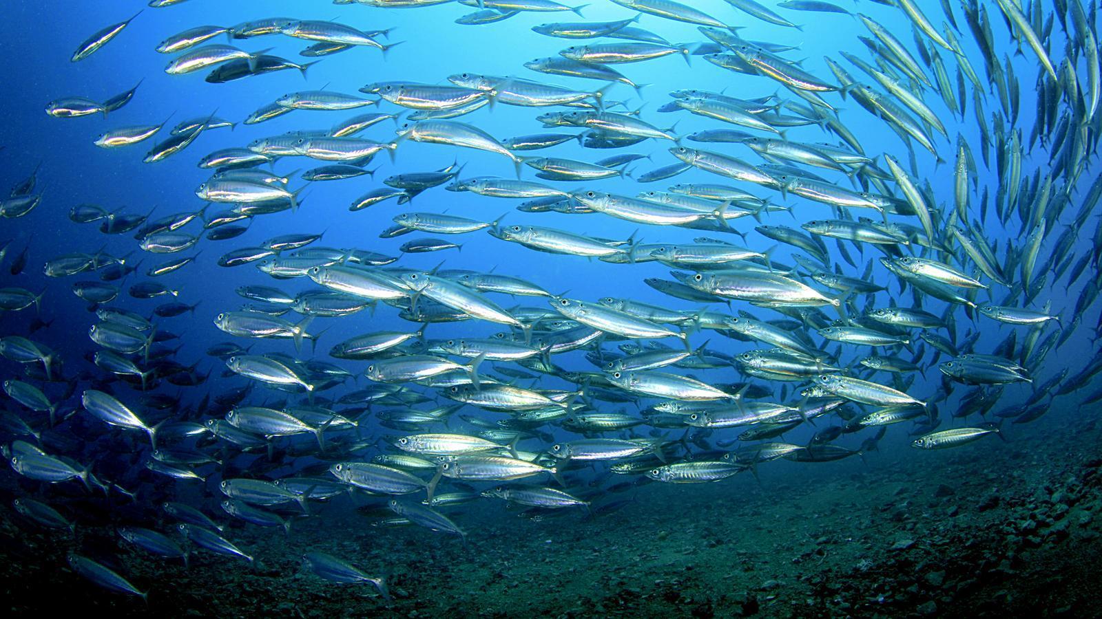 Imatge d'arxiu d'un banc de peixos / richcarey