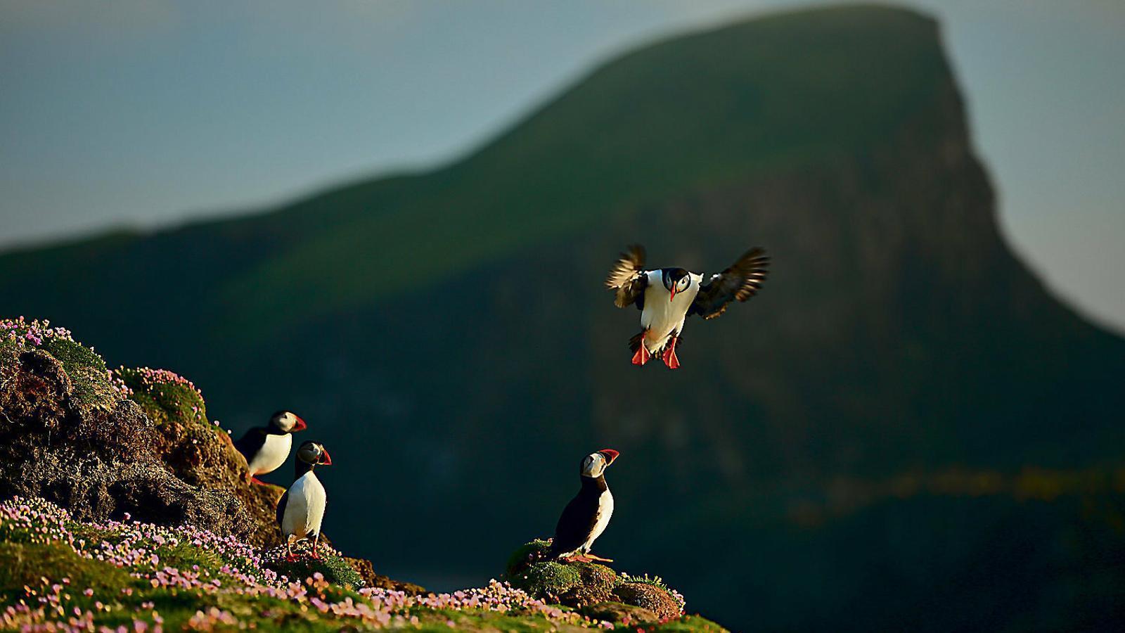 Les illes Shetland A la recerca del fraret atlàntic