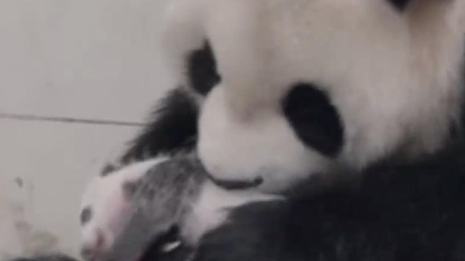 La Xina aprofita els pocs dies d'ovulació que els pandes femella tenen a l'any per aconseguir cries en captivitat