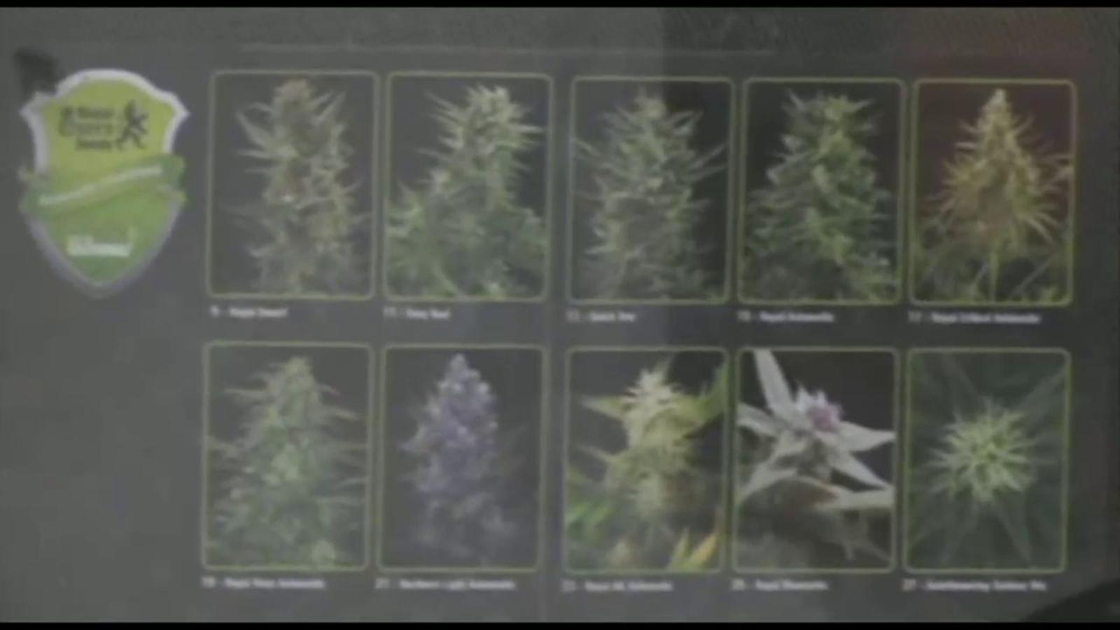 Turistes i empresaris desafien la nova llei holandesa de restringir la venda de cànnabis