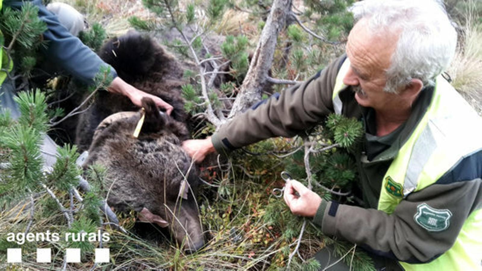 L'os Goiat hi torna: primer atac a bestiar després de la hibernació