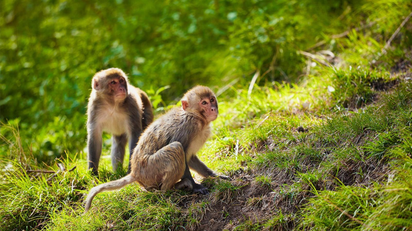 Imatge d'una cèl·lula infectada per coronavirus.  La vacuna de l'Institut Jenner s'ha provat amb èxit en sis macacos rhesus.