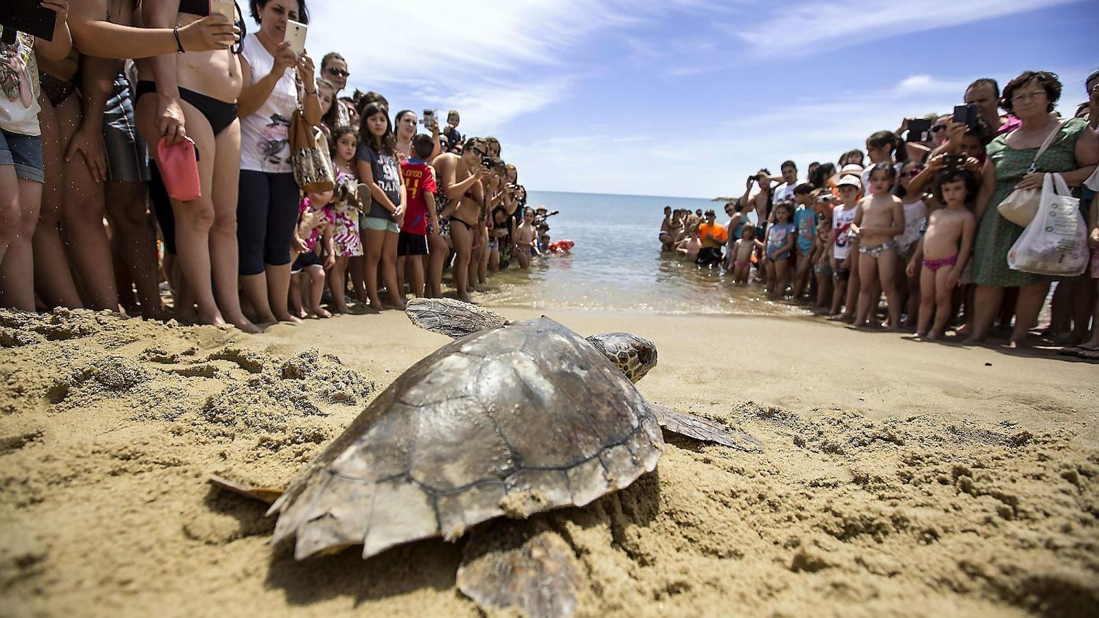 Un exemplar de tortuga babaua que aquest juny va ser deixat en llibertat a la platja del municipi valencià de Puçol.