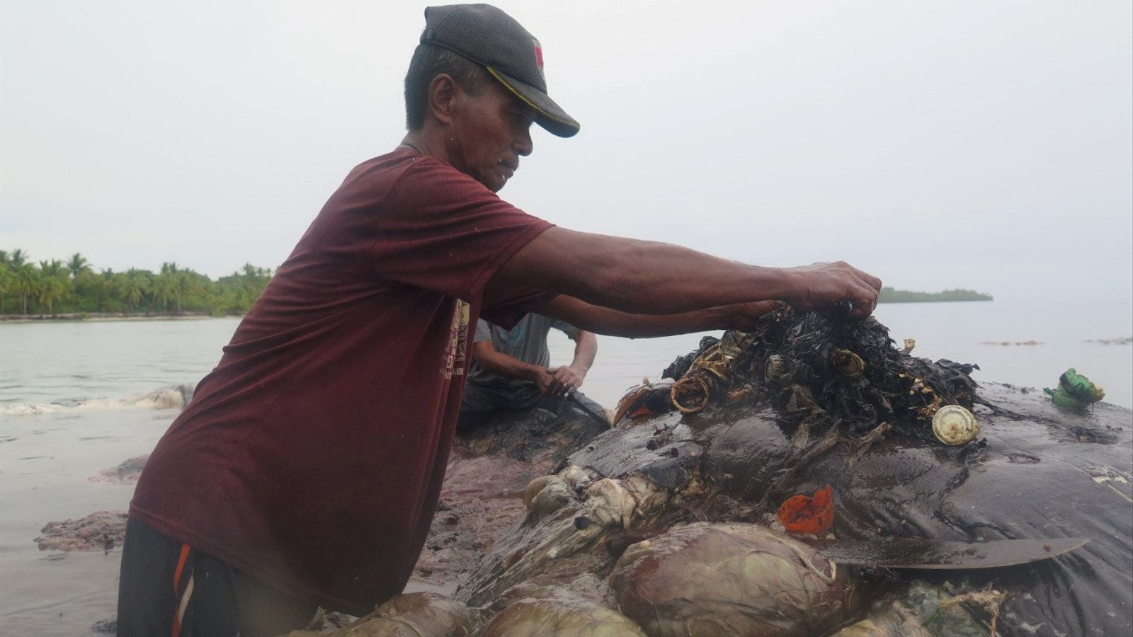 Un home treu el plàstic de l'interioir de la balena.