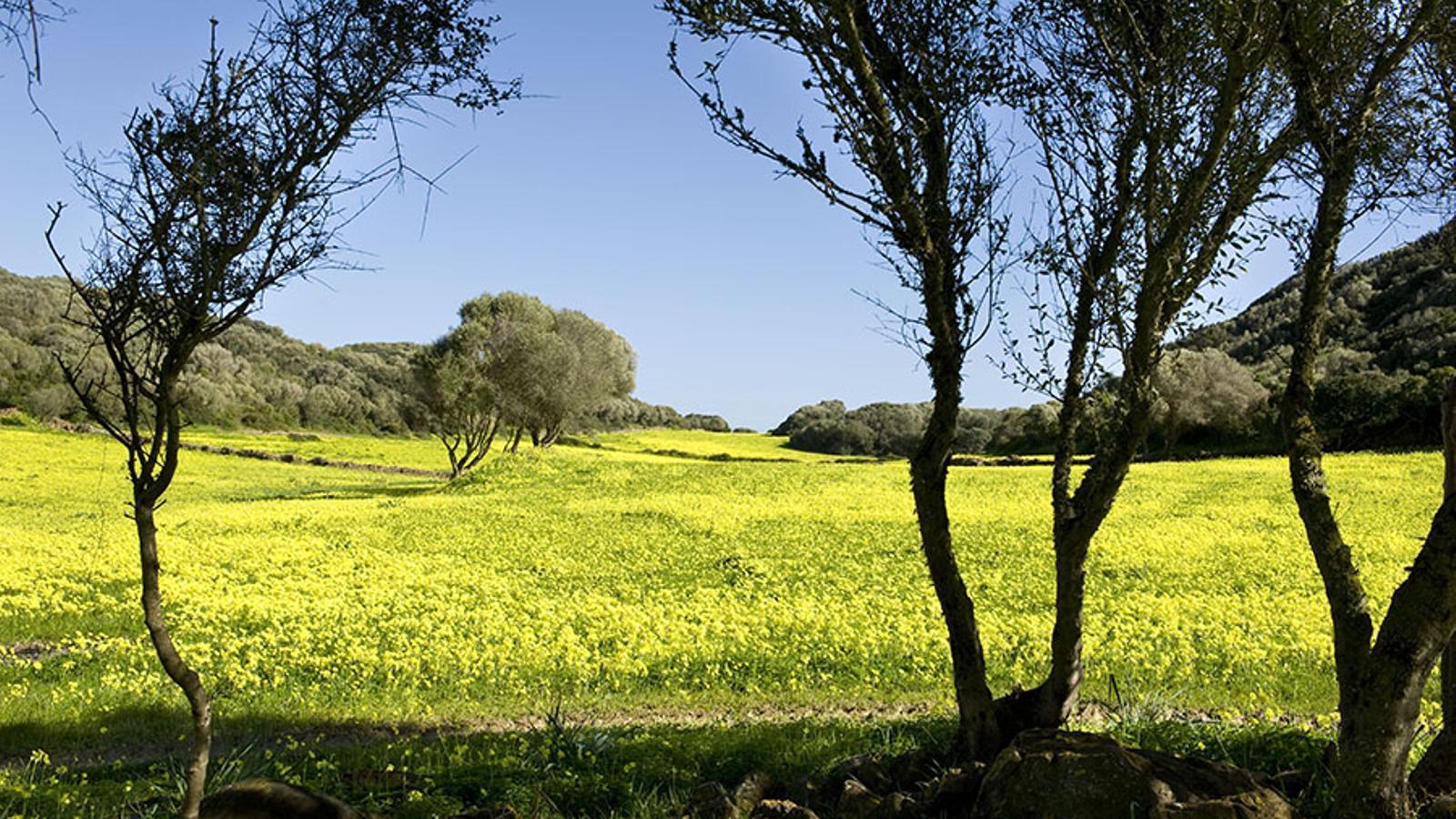 Un camp ple de vinagrelles a Menorca. /DAVID ARQUIMBAU