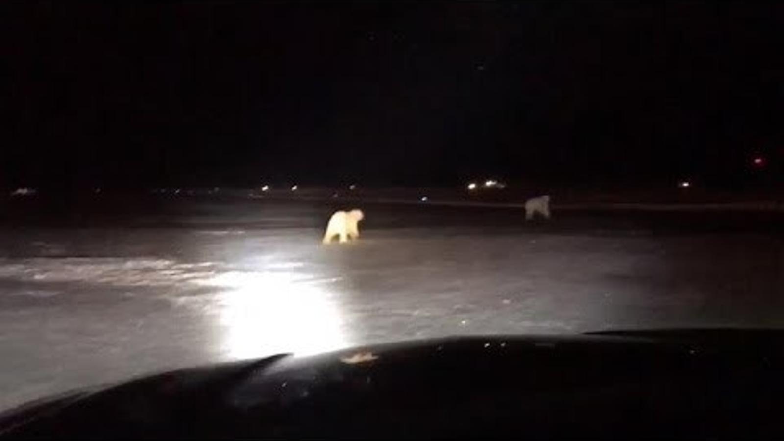 Óssos polars observats a l'aeroport d'Alaska