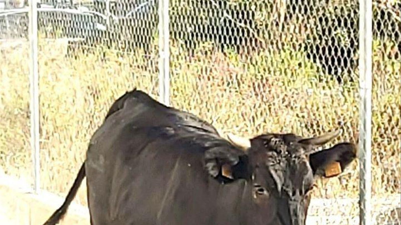 El bou fou atrapat vora el cementiri. / POLICIA LOCAL D'INCA