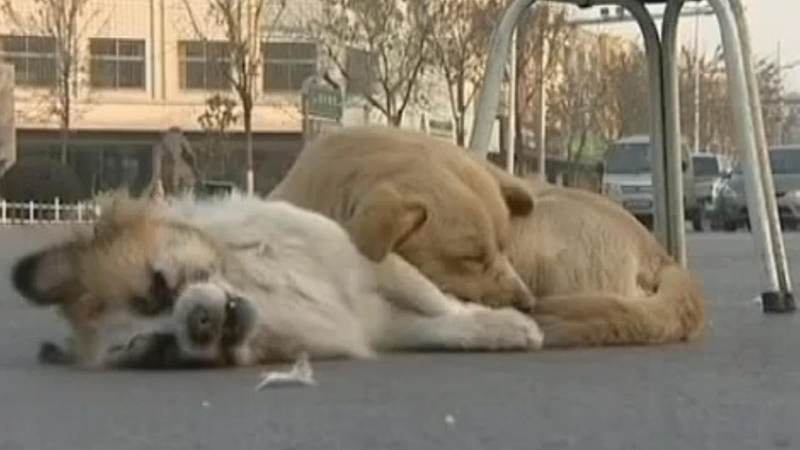Triomfa a internet el vídeo del gos que en vetlla un altre, mort al carrer
