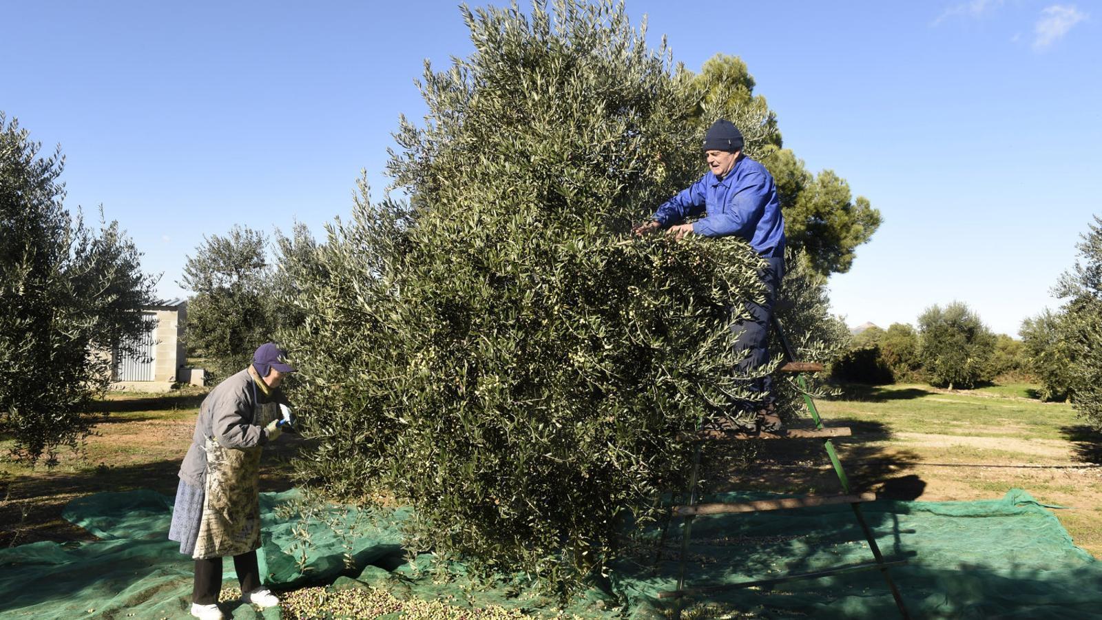 Collita d'oliva a Maials (Segrià), en una imatge d'arxiu. Un oli d'oliva verge extra es produeix amb processos únicament mecànics.
