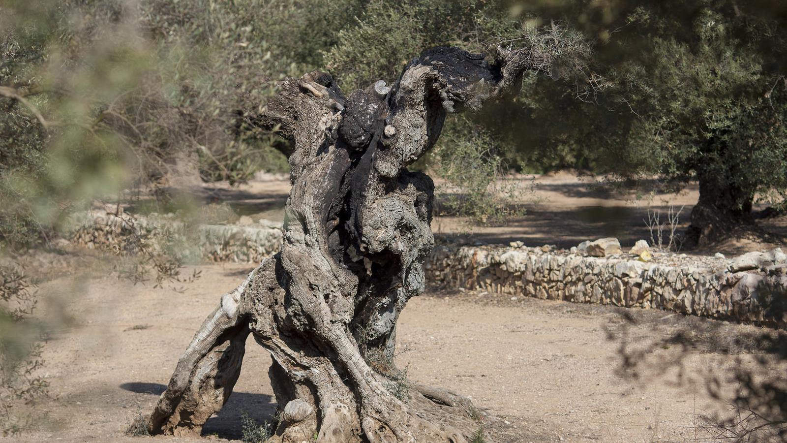 Les oliveres mil·lenàries del Sénia, l'espoli legal